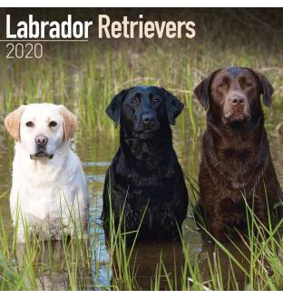 Labrador Retrievers 2020 Square Wall Calendar